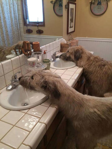 Irish Wolfhounds Are Both Funny And Incredibly Huge