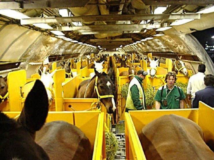 How Horses Travel By Plane