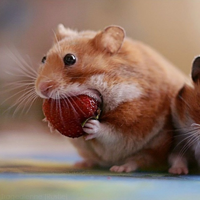 20 Funny Hamsters Collection