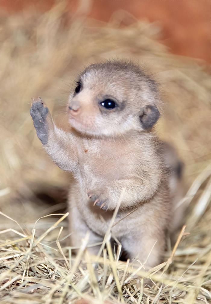 Cute Meerkat Pups Barnorama
