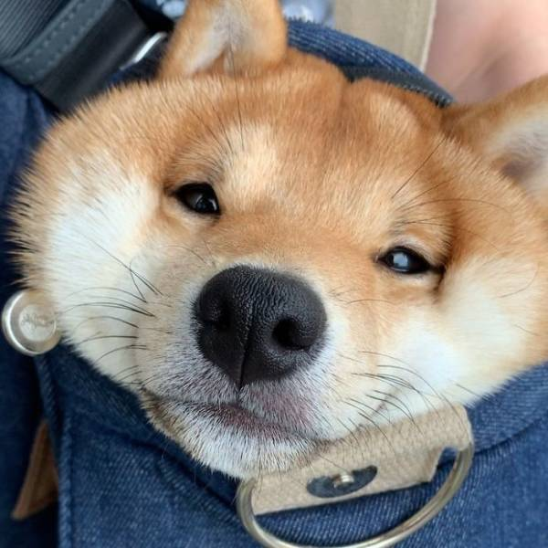 Cute Shiba Inu That Smiles All The Time